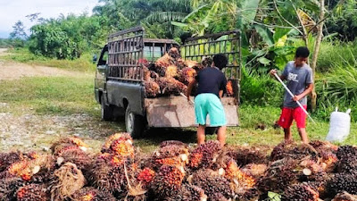 Kabar Gembira! Harga Sawit Riau Naik Lagi, Tembus Rp 3.114 per Kg