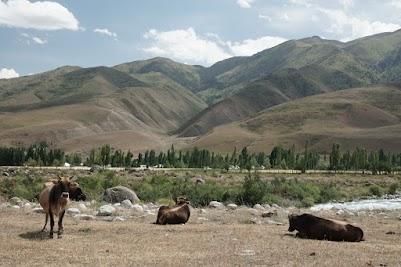 Kühe weiden bei Karagay-Bulak am Ufer des Isik-Ata