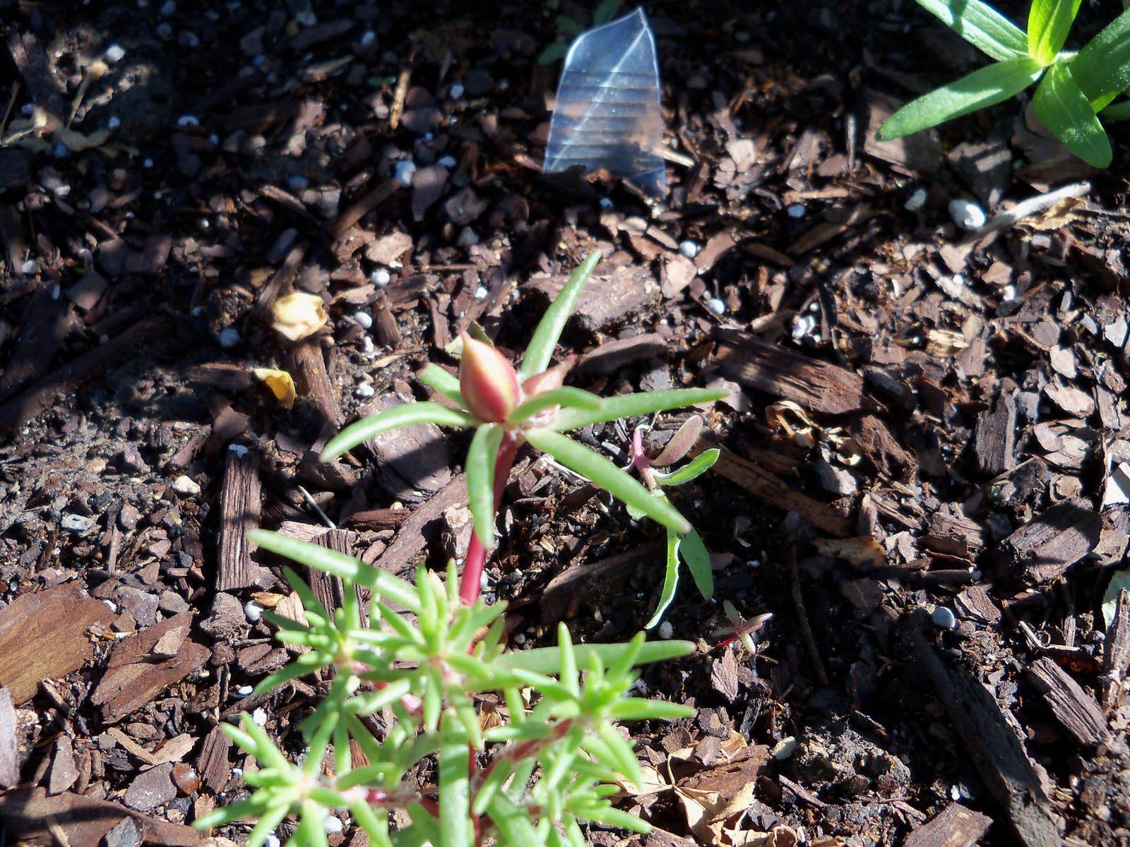 Gardening 2010 - 101_1251.JPG