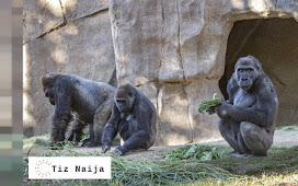 Exclusive: Gorillas in Atlanta Zoo tests Positive for Covid-19 |Tiz Naija
