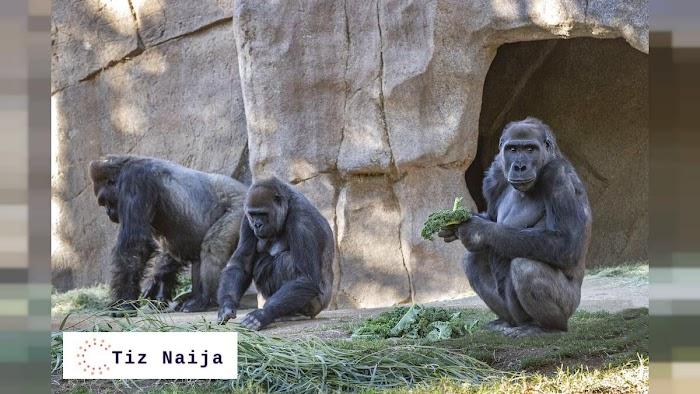 Exclusive: Gorillas in Atlanta Zoo tests Positive for Covid-19  Tiz Naija