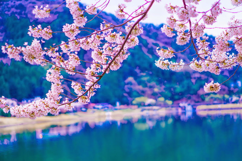 河口湖 桜 写真4