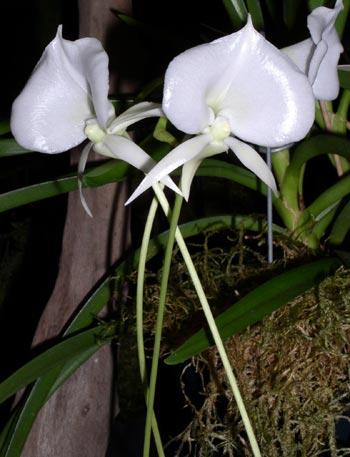 Растения из Тюмени. Краткий обзор Angraecum%25252520longiscott