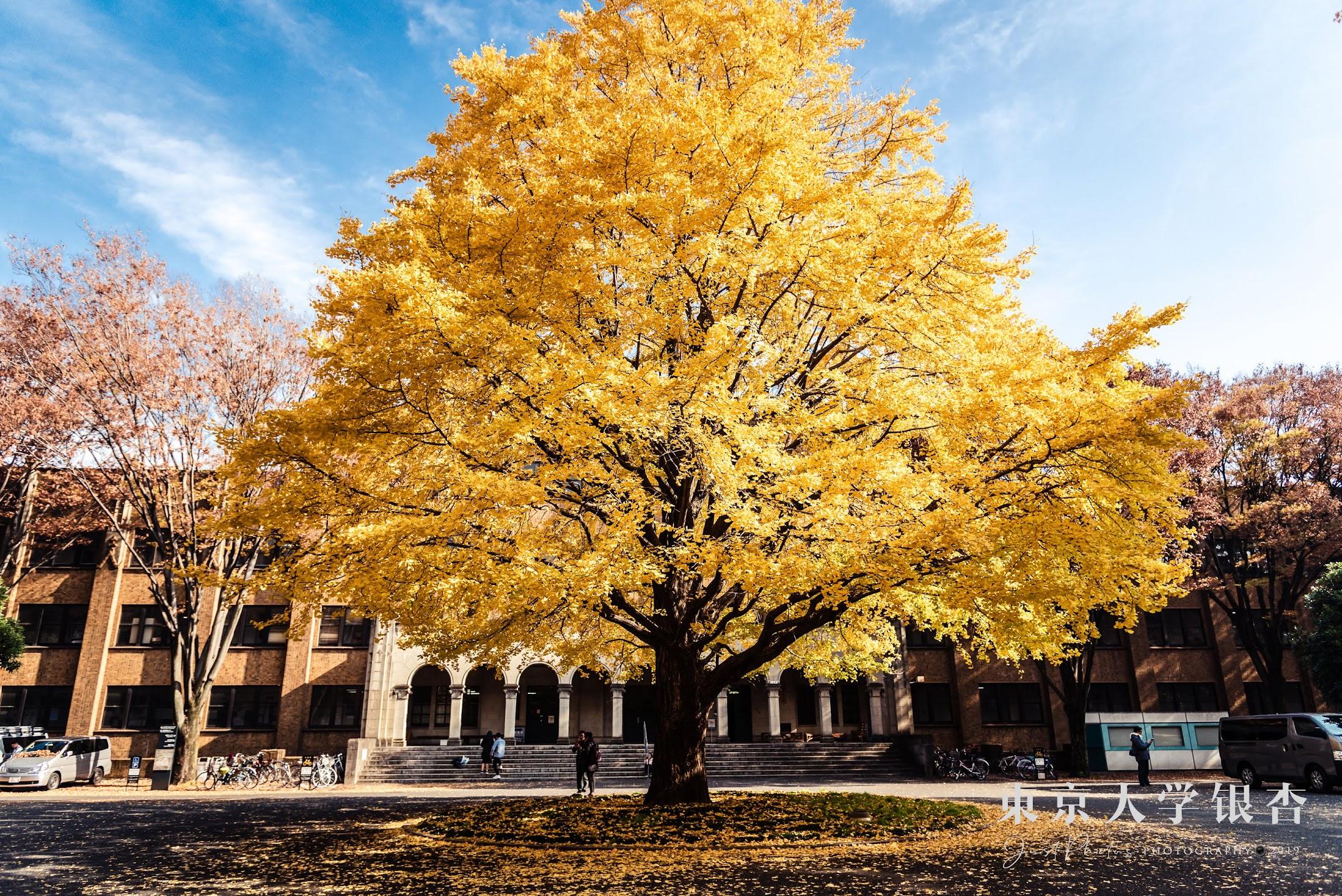 每年11月底12月初是東京大學銀杏見傾的最佳時刻。