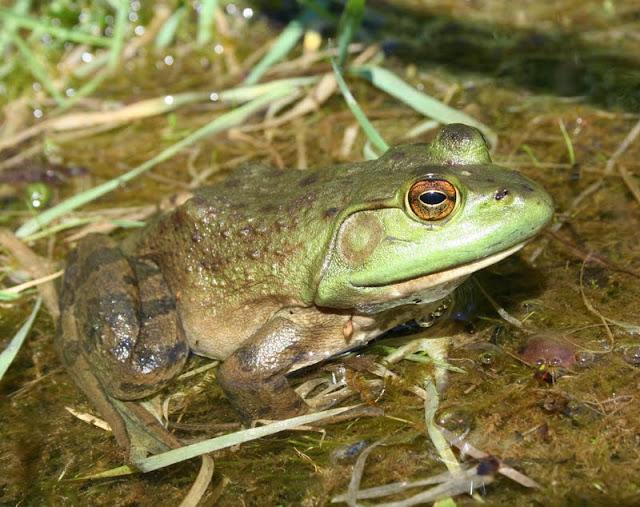 Bullfrog (Joe Crowley)