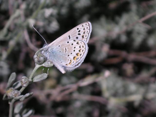 Polyommatus cyane cyane EVERSMANN, 1837. Confluent de l'Ottuk et de la Sary Dzhaz, 8 juillet 2006. Photo : B. Lalanne-Cassou