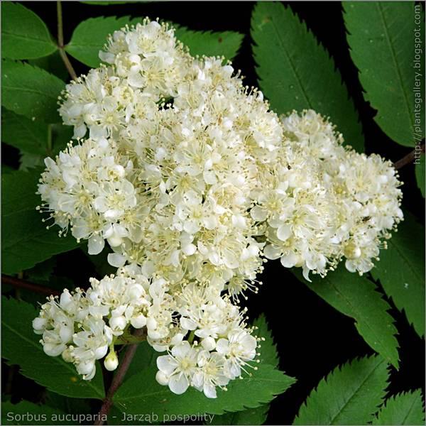 Sorbus aucuparia flower - Jarząb pospolity  kwiatostan