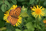 Brenthis daphne.3.jpg