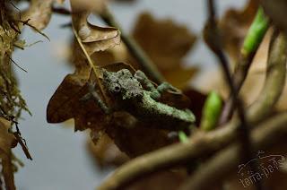 Rhampholeon acuminatus 0.1 juvenil