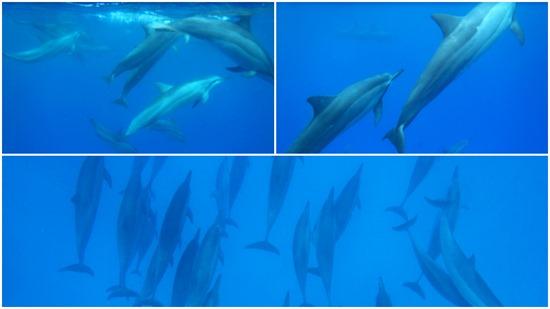 ヨシコさんとコウジさんのハワイ島のイルカ