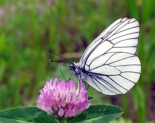 Aporia crataegi LINNAEUS, 1758 - Monts Sinyi. Photo : N. N. Balatskij