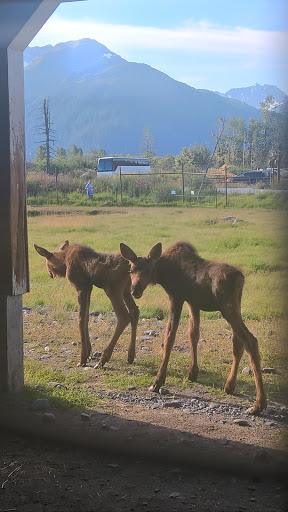 15 WP_20150806_09_23_53_Rich.jpg - Baby moose, venturing out for a stroll
