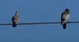 Kenapa burung tidak kesetrum saat bertengger di kabel tegangan tinggi?