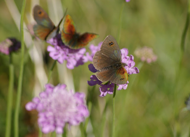 Erebia cassioides aquitania FRUHSTORFER, 1909, mâle. Super Sauze, 2160 m (Alpes-de-Haute-Provence), 6 août 2009. Photo : J.-M. Gayman