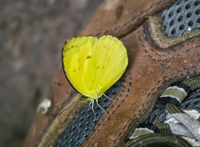 Eurema nicevillei nicevillei Butler, 1898. Danum Valley Conservation Area, Sabah (Malaisie), 16 août 2014. Photo : T. Boucher