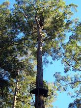 Photo: Der Bicentennial Tree in den Karri Forests