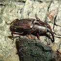 Sphenophorus Weevil