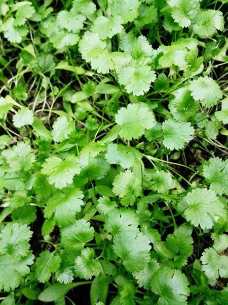 Khu vườn gọn gàng với rèm mồng tơi xanh mướt - 55c0334b7e036