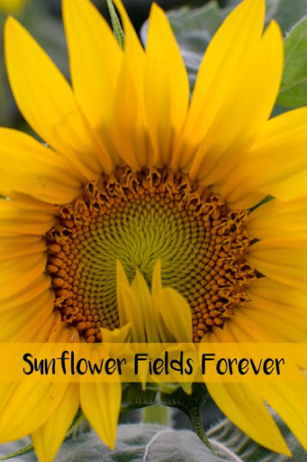 Sunflower Fields Forever–Local Tourist Link Up