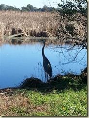 20151030_Great blue heron (Small)