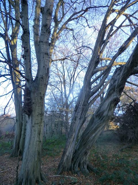 CIMG7584 Ancient hornbeams, Lullingstone Park