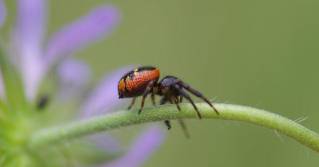 Thomisidae : Synema globosum (FABRICIUS, 1775). Les Hautes-Lisières (Rouvres, 28), 9 juillet 2012. Photo : J.-M. Gayman