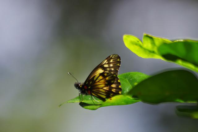 Catasticta nimbice ligata Eitschberger & T. Racheli, 1998. Au pied de la Reserva Forestal De Fortuna. Hornito, 1300 m (Chiriquí, Panamá), 28 octobre 2014. Photo : J.-M. Gayman