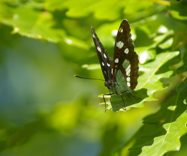 Azuritis reducta STAUDINGER, 1901. Brunet (Alpes-de-Haute-Provence), 14 juin 2008. Photo : J.-M. Gayman