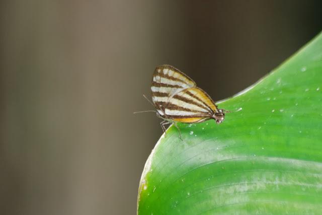 Arawacus togarna (HEWITSON, 1867). Tunda Loma à Calderon (San Lorenzo, Esmeraldas), 6 décembre 2013. Photo : J.-M. Gayman