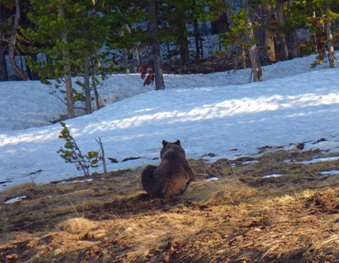 Grizzly Bear, near Canyon Junction, Yellowstone May 2016