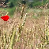 Пшеница (Triticum sp.) и Мак сомнительный (Papaver dubium)