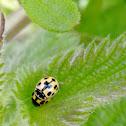 14-Spotted Ladybeetle