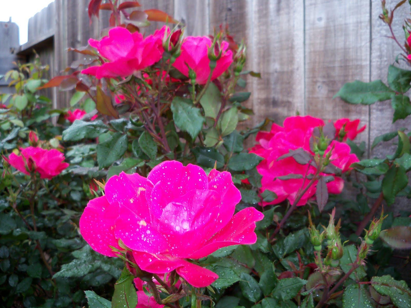 Gardening 2010 - 101_0529.JPG