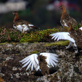 Grouse 1 by Sigbjørn Berg - Animals Birds ( grouse, northern norway )