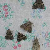 1. Drepanidae : Thyatirinae : Tethea ocularis LINNAEUS, 1767. 4. Notodontidae : Pheosiopsis cinerea ussuriensis MOLTRECHT, 1914. Tigrovoy, 22 juin 2011. Photo : J. Michel