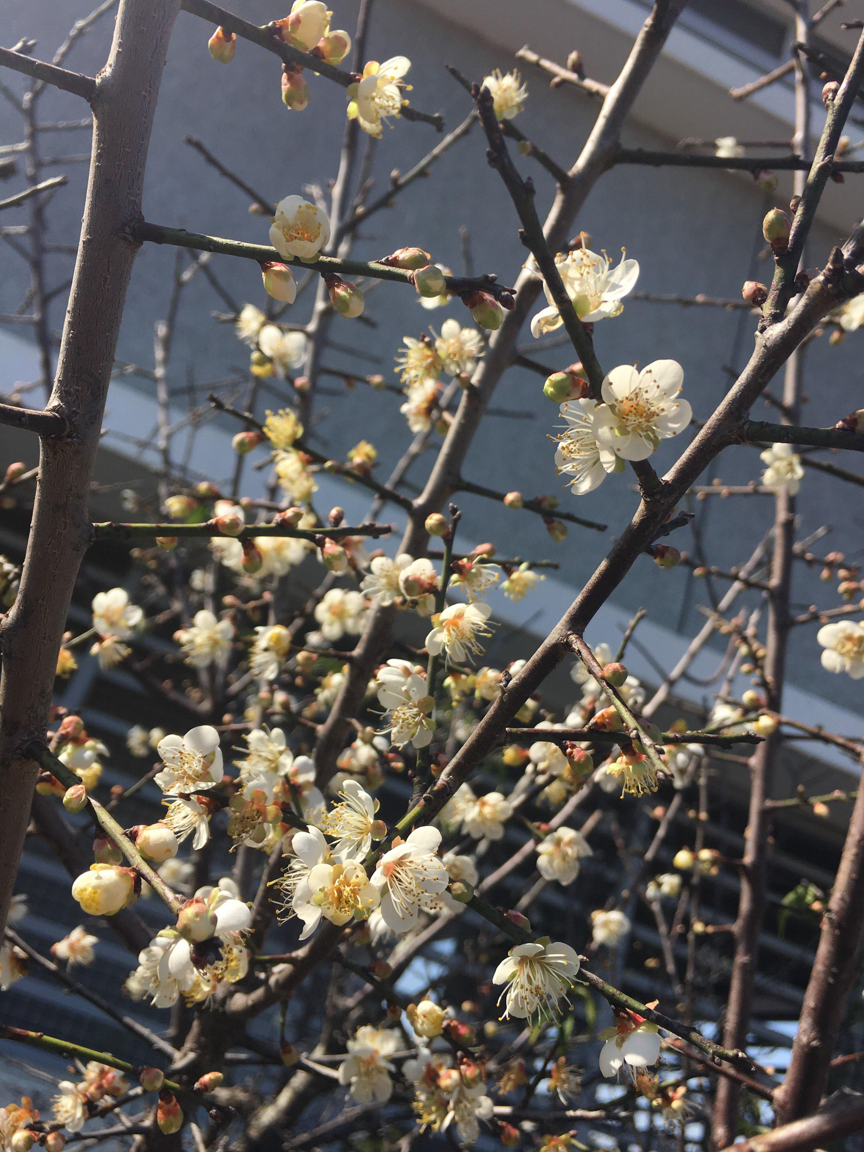 plum blossom douliou yunlin taiwan