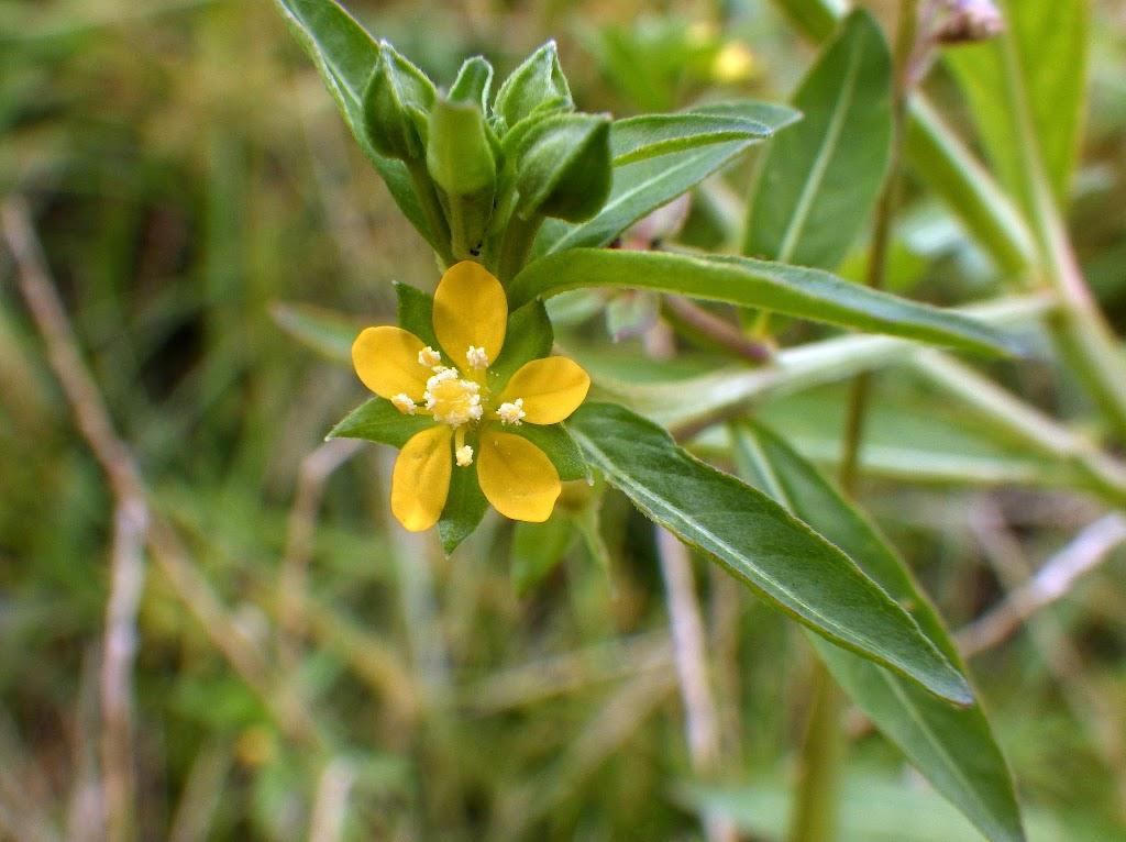 ウスゲチョウジタデの花2