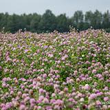 Клевер луговой (Trifolium pratense)