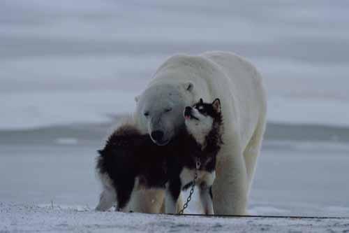 Urso pardo vs Urso polar 2