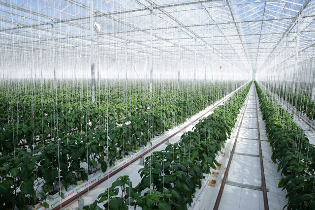 Geothermal energy is converted into electricity and used to heat the Gourmet Mokai glasshouse in New Zealand which grows tomatoes and peppers. Photo: Evan Schneider / UN Photo