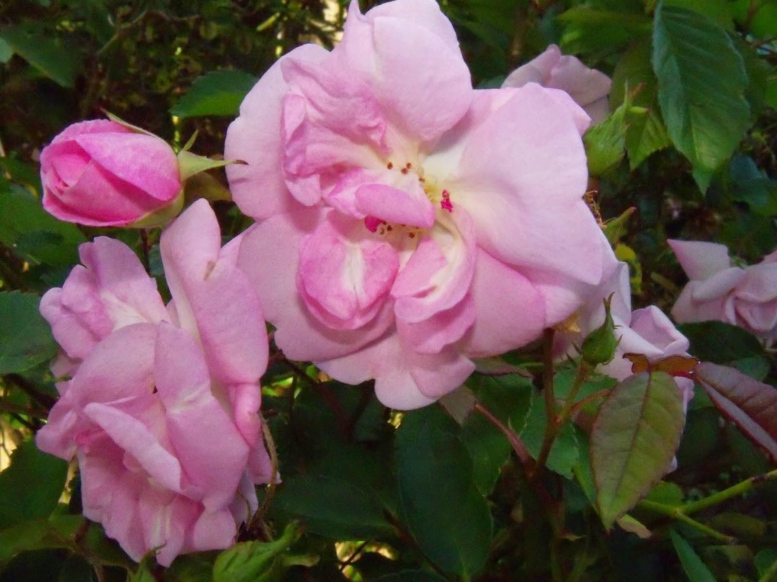 Gardening 2015 - 116_7650.JPG