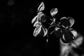 Photo: goodnight #bwphotography  #flowerphotography  #monochrome