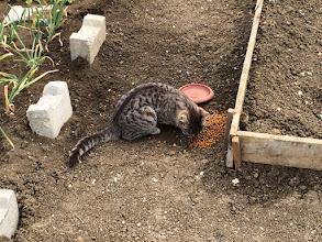 Photo: Kediciği besliyoruz. Bahçemin aslanı.