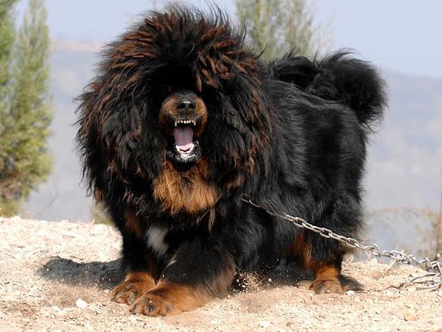 Chó cảnh nhập từ Trung Quốc. Nên mua hay không?
