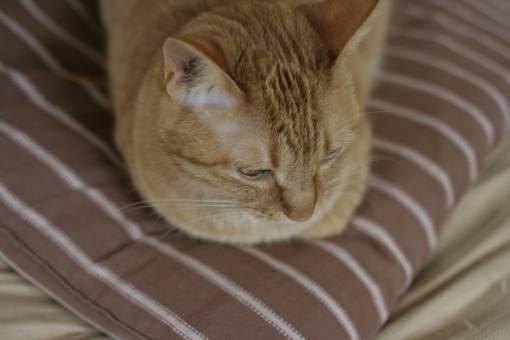 香箱座りする茶色い猫