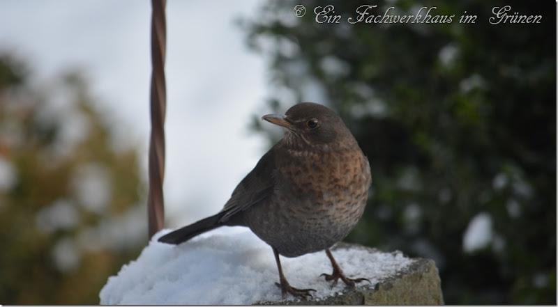 Eine Drossel im Winter 1