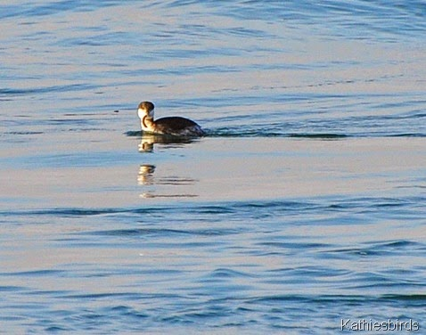 14. horned grebe-kab