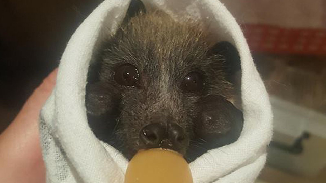A rescued flying fox in Campbelltown during the record heatwave in Sydney, Australia, 11 January 2019. Photo: Help Save the Wildlife and Bushlands in Campbelltown / Facebook