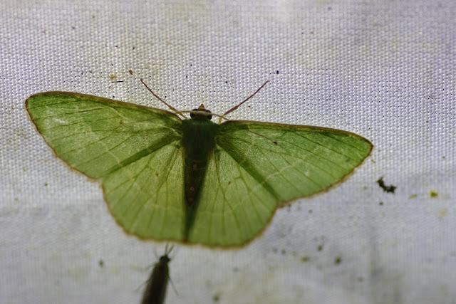 Geometridae : Geometrinae : Phrudocentra pupillata Warren, 1897. Choachi, 1850 m (Cundinamarca, Colombie), 10 novembre 2015. Photo : J.-M. Gayman