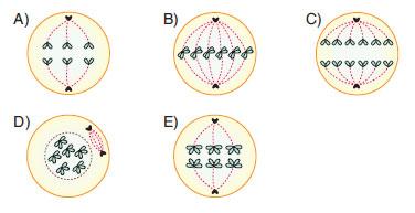 mitoz bölünmenin anafaz evresindeki kromozom sayısı